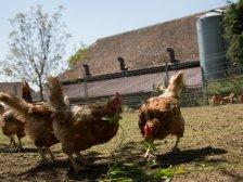 Hühner bei Regula Fäh
